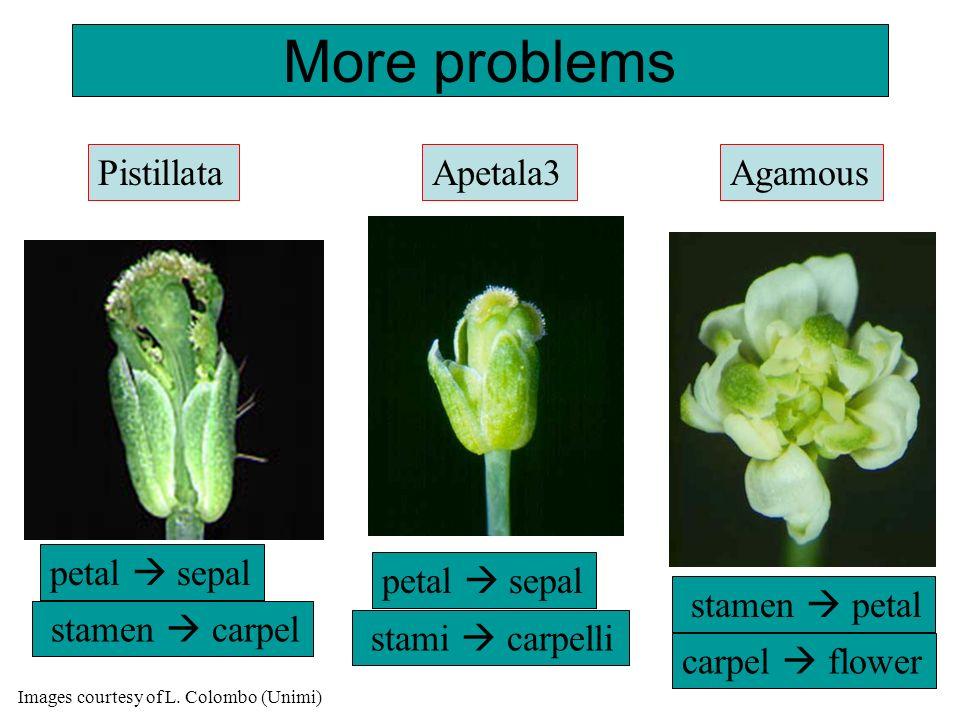 More problems Agamous stamen petal stamen carpel PistillataApetala3 stami carpelli petal sepal carpel flower petal sepal Images courtesy of L. Colombo