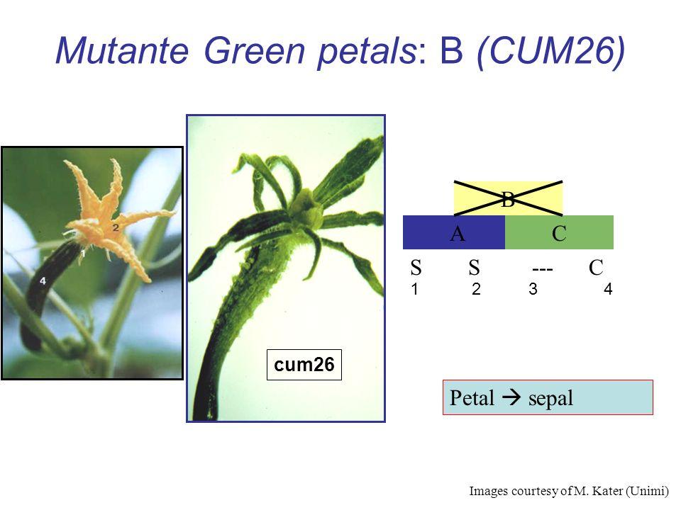 Mutante Green petals: B (CUM26) AC B S S --- C cum26 1 2 3 4 Petal sepal Images courtesy of M. Kater (Unimi)