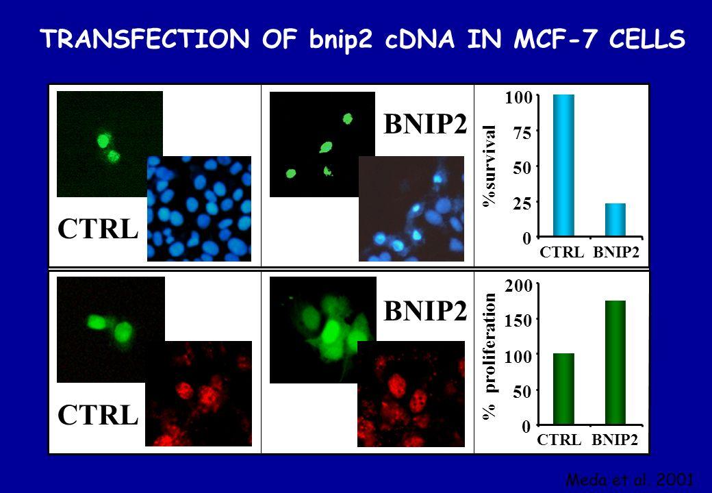 CTRL BNIP2 CTRL 100 75 50 25 BNIP2CTRL 200 150 100 50 CTRL BNIP2 %survival % proliferation 0 0 TRANSFECTION OF bnip2 cDNA IN MCF-7 CELLS Meda et al. 2