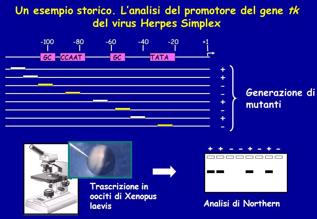 Un esempio storico. Lanalisi del promotore del gene tk del virus Herpes Simplex +1-20-40-60-80-100 GCCCAATGCTATA + + + + - - - - Generazione di mutant