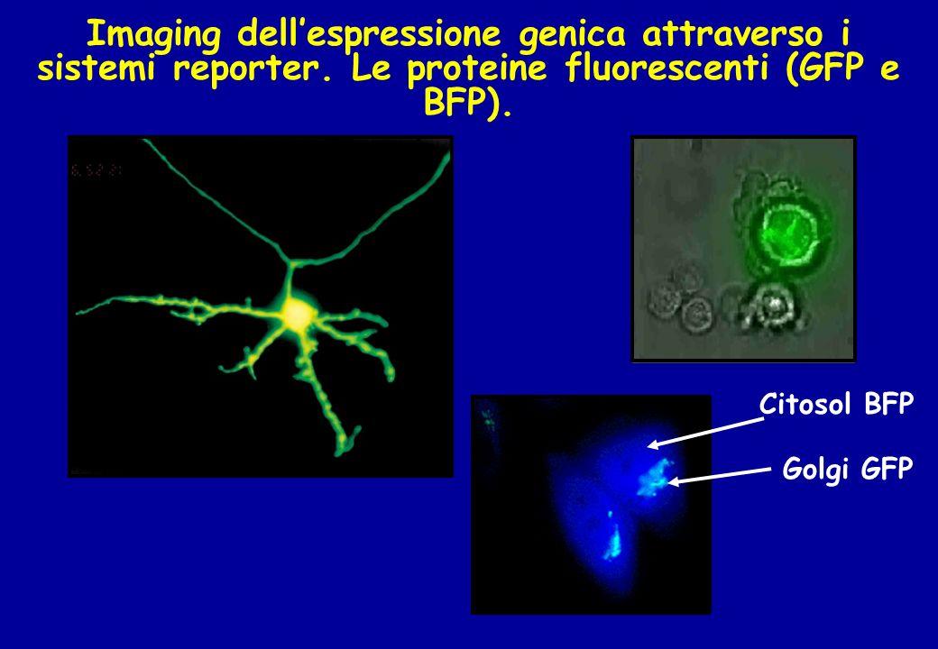 Imaging dellespressione genica attraverso i sistemi reporter. Le proteine fluorescenti (GFP e BFP). Citosol BFP Golgi GFP