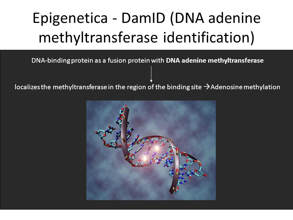 Epigenetica - DamID (DNA adenine methyltransferase identification) DNA-binding protein as a fusion protein with DNA adenine methyltransferase localizes the methyltransferase in the region of the binding site Adenosine methylation