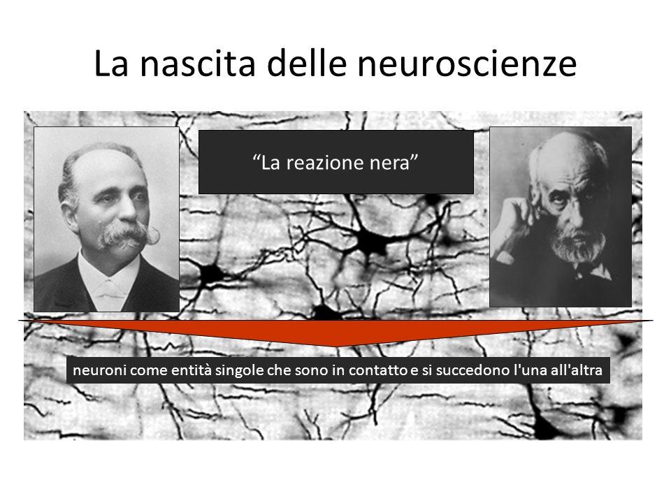 La nascita delle neuroscienze La reazione nera neuroni come entità singole che sono in contatto e si succedono l'una all'altra