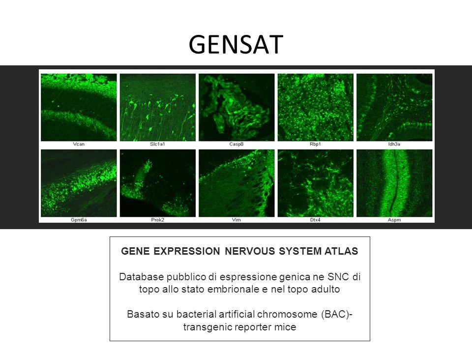 GENSAT GENE EXPRESSION NERVOUS SYSTEM ATLAS Database pubblico di espressione genica ne SNC di topo allo stato embrionale e nel topo adulto Basato su b