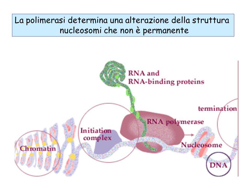 La polimerasi determina una alterazione della struttura nucleosomi che non è permanente