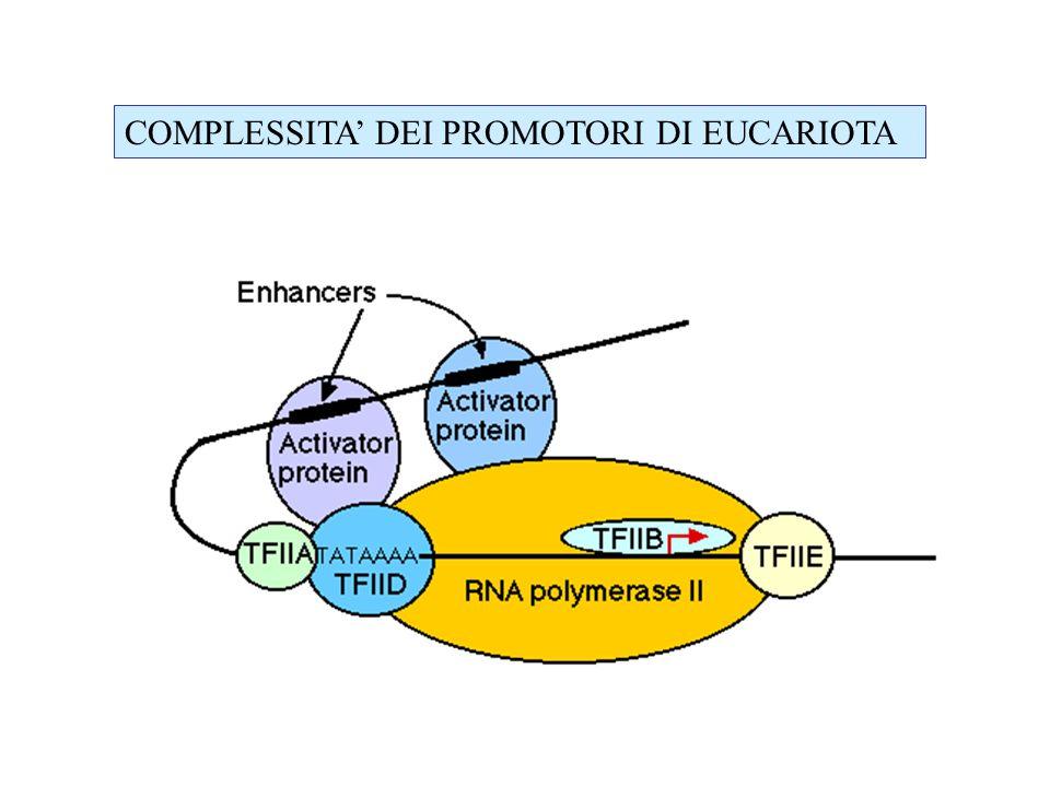 Si tratta di una sequenza di DNA in cui sono presenti diversi moduli: TATA box a circa -30 pb dal sito di inizio della trascrizone importante Per il corretto inizio della trascrizione CAT box a circa –80 pb che determina lefficienza del promotore (CAAT).