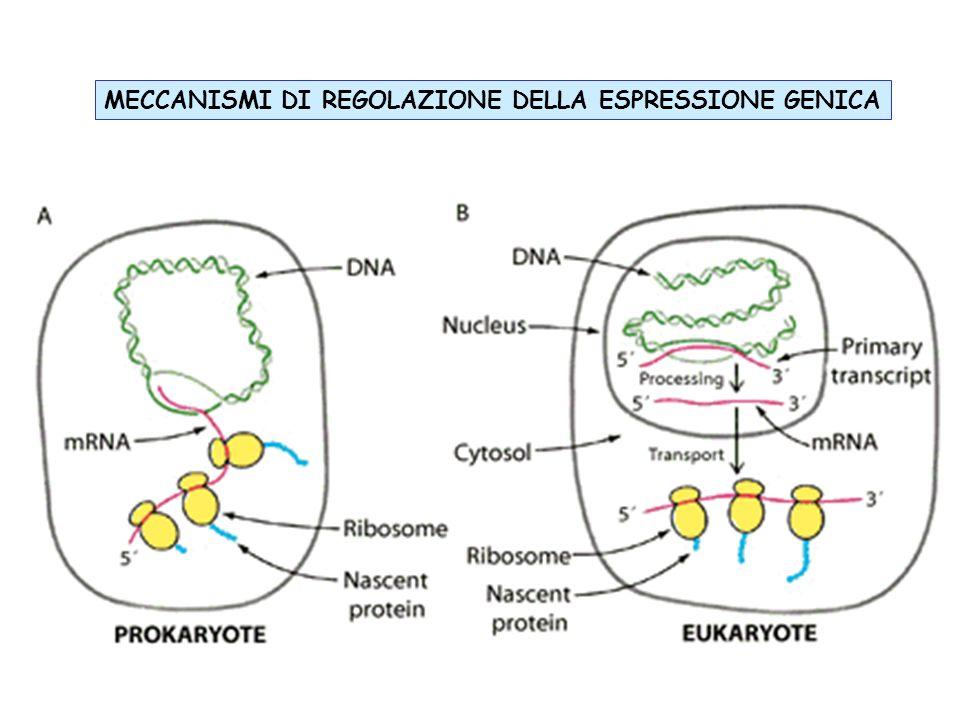 ESPRESSIONE GENICA IN PROCARIOTE Nei procarioti lo stesso enzima (RNAP) catalizza la sintesi di tutti e tre gli RNA a RNA polimerasi di procariote è un enzima di relativamente grandi dimensioni ed è formata da 5 subunità (~400 kDa): α 2 :le due subunità αalfa assemblano lenzima e riconoscono i fattori di regolazione.