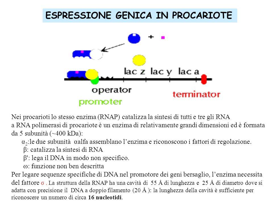 ESPRESSIONE GENICA IN PROCARIOTE Nei procarioti lo stesso enzima (RNAP) catalizza la sintesi di tutti e tre gli RNA a RNA polimerasi di procariote è u