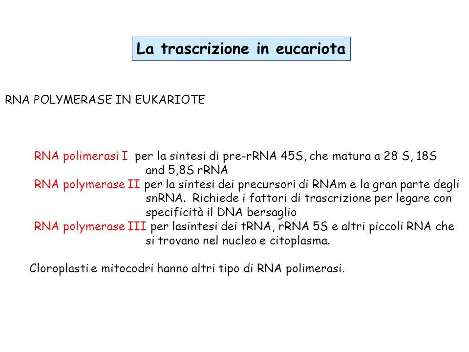 RNA POLYMERASE IN EUKARIOTE RNA polimerasi I per la sintesi di pre-rRNA 45S, che matura a 28 S, 18S and 5,8S rRNA RNA polymerase II per la sintesi dei