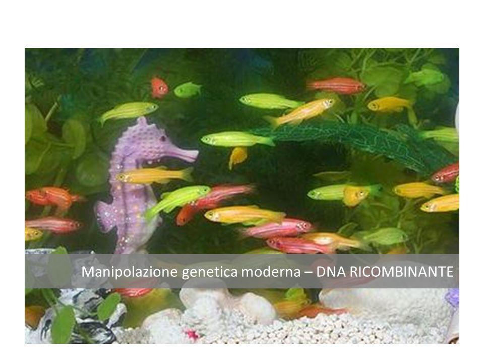 La procedura per ottenere la transgenesi standard si basa su 4 fasi distinte Estrazione DNA dalle code della progenie Analisi tramite PCRAnalisi tramite Southern-blot M C 1 2 3 4 5 C 1 2 3 4 5 1.