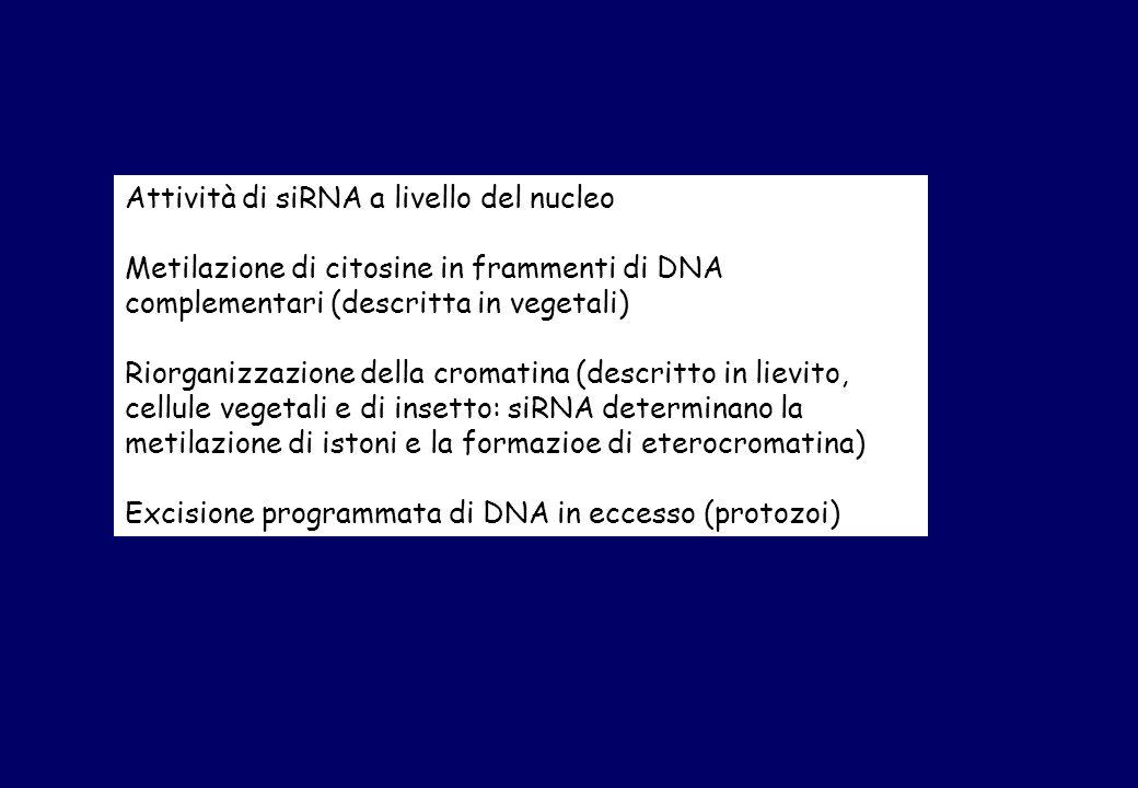 Attività di siRNA a livello del nucleo Metilazione di citosine in frammenti di DNA complementari (descritta in vegetali) Riorganizzazione della cromatina (descritto in lievito, cellule vegetali e di insetto: siRNA determinano la metilazione di istoni e la formazioe di eterocromatina) Excisione programmata di DNA in eccesso (protozoi)