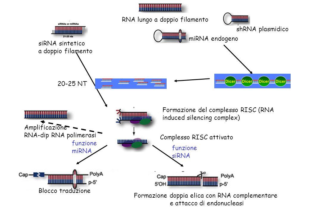 siRNA sintetico a doppio filamento shRNA plasmidico RNA lungo a doppio filamento miRNA endogeno 20-25 NT funzione miRNA Formazione del complesso RISC (RNA induced silencing complex) Complesso RISC attivato Blocco traduzione funzione siRNA Formazione doppia elica con RNA complementare e attacco di endonucleasi Amplificazione RNA-dip RNA polimerasi
