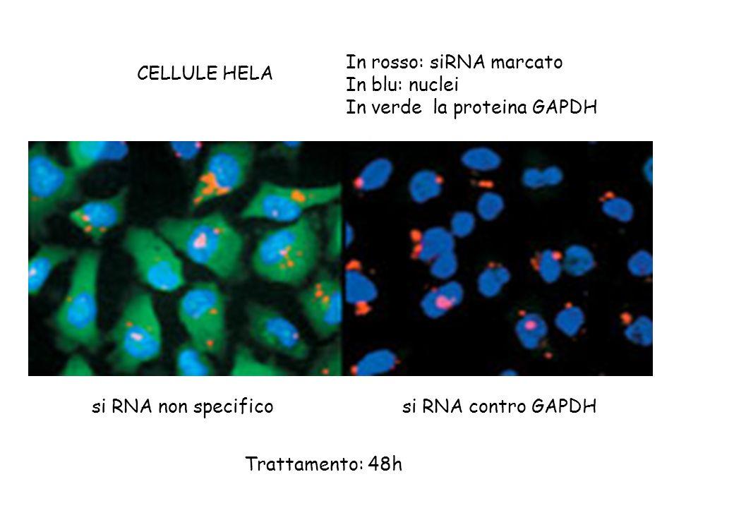 In rosso: siRNA marcato In blu: nuclei In verde la proteina GAPDH CELLULE HELA si RNA non specificosi RNA contro GAPDH Trattamento: 48h