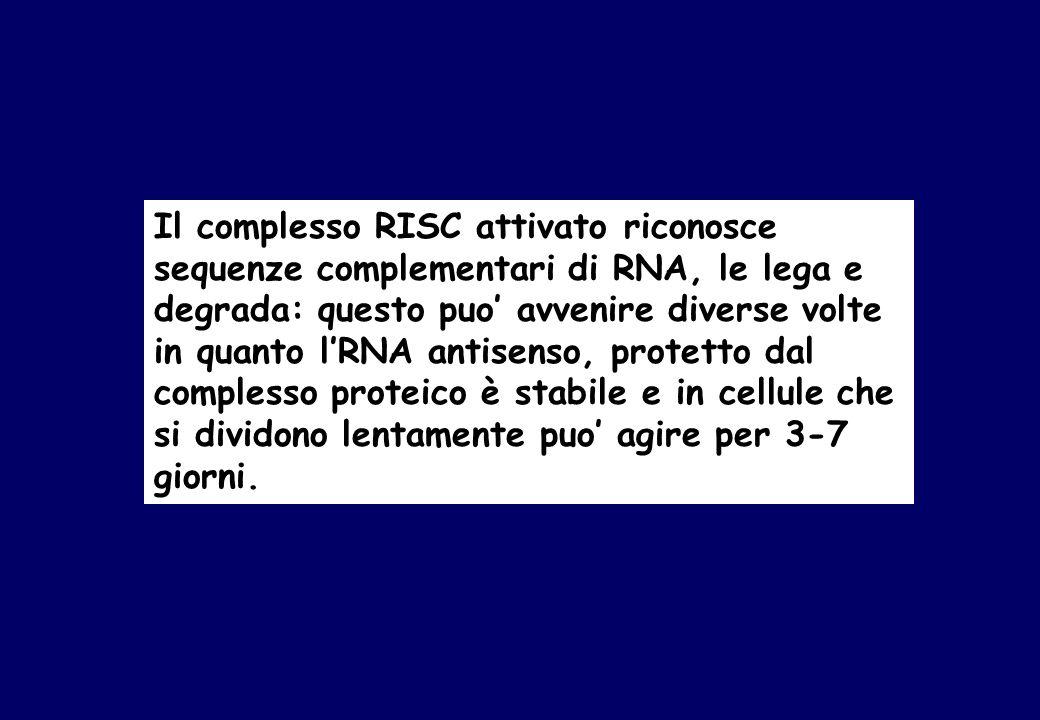 Il complesso RISC attivato riconosce sequenze complementari di RNA, le lega e degrada: questo puo avvenire diverse volte in quanto lRNA antisenso, protetto dal complesso proteico è stabile e in cellule che si dividono lentamente puo agire per 3-7 giorni.