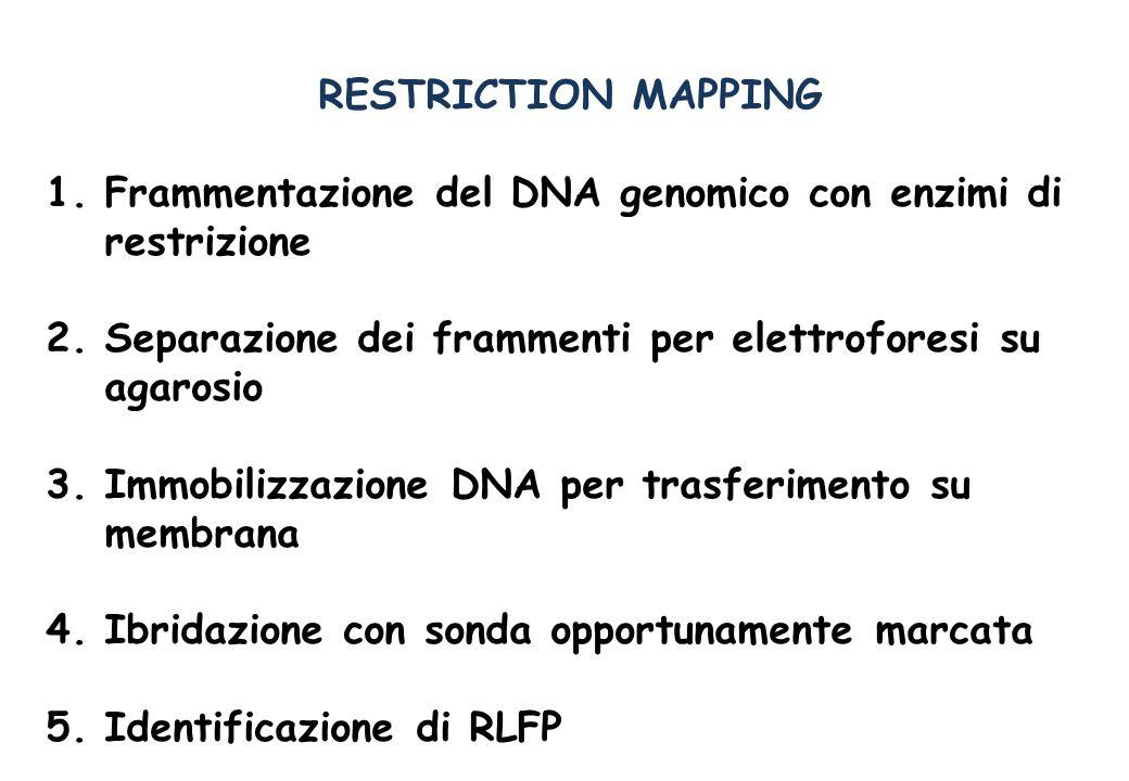 EREDITA DI MARCATORI RFLP Restriction Fragment Length Polymorphism SNP