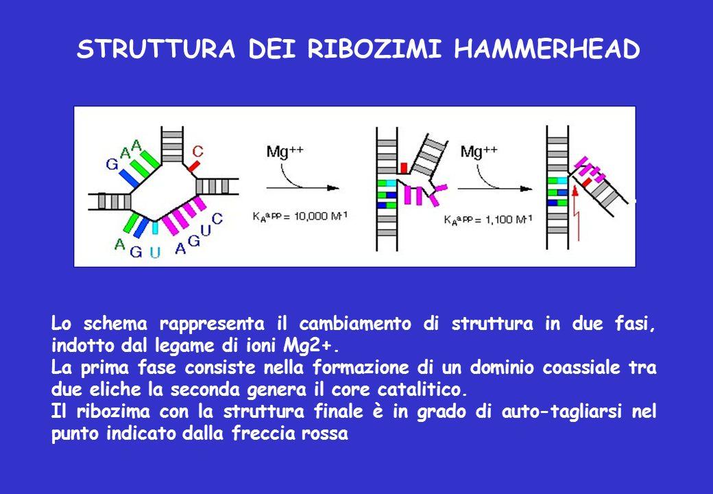 STRUTTURA DEI RIBOZIMI HAMMERHEAD Lo schema rappresenta il cambiamento di struttura in due fasi, indotto dal legame di ioni Mg2+. La prima fase consis