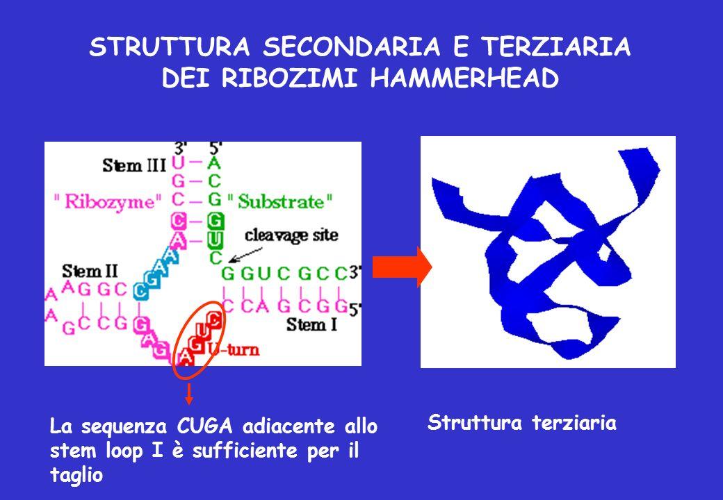 STRUTTURA SECONDARIA E TERZIARIA DEI RIBOZIMI HAMMERHEAD La sequenza CUGA adiacente allo stem loop I è sufficiente per il taglio Struttura terziaria