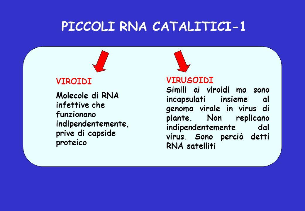 PICCOLI RNA CATALITICI-1 VIROIDI Molecole di RNA infettive che funzionano indipendentemente, prive di capside proteico VIRUSOIDI Simili ai viroidi ma