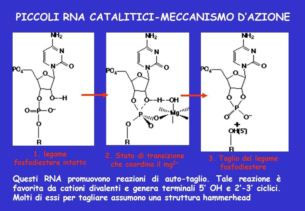 Questi RNA promuovono reazioni di auto-taglio. Tale reazione è favorita da cationi divalenti e genera terminali 5 OH e 2-3 ciclici. Molti di essi per