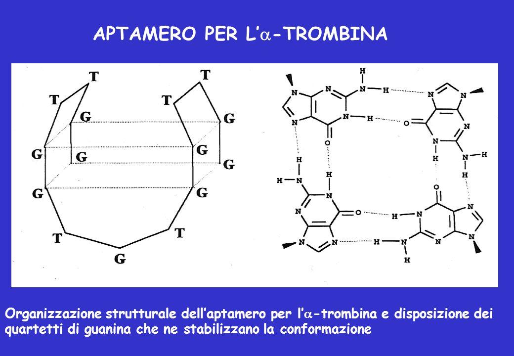 APTAMERO PER L -TROMBINA Organizzazione strutturale dellaptamero per l -trombina e disposizione dei quartetti di guanina che ne stabilizzano la confor