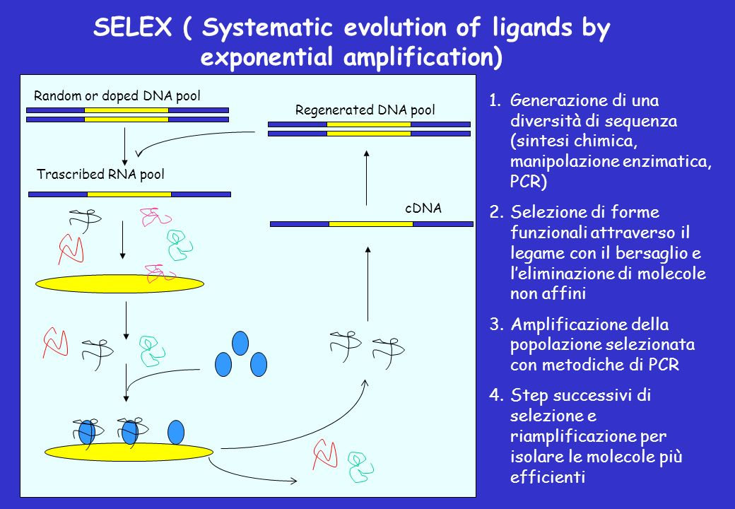 SELEX ( Systematic evolution of ligands by exponential amplification) Random or doped DNA pool Trascribed RNA pool cDNARegenerated DNA pool 1.Generazi