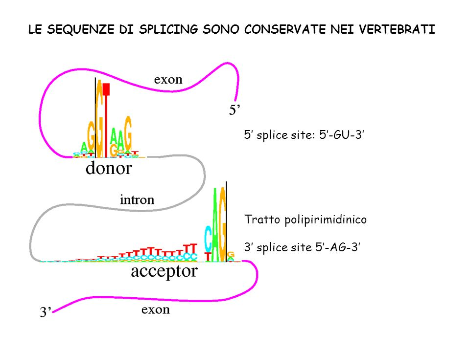 5 splice site: 5-GU-3 Tratto polipirimidinico 3 splice site 5-AG-3 LE SEQUENZE DI SPLICING SONO CONSERVATE NEI VERTEBRATI
