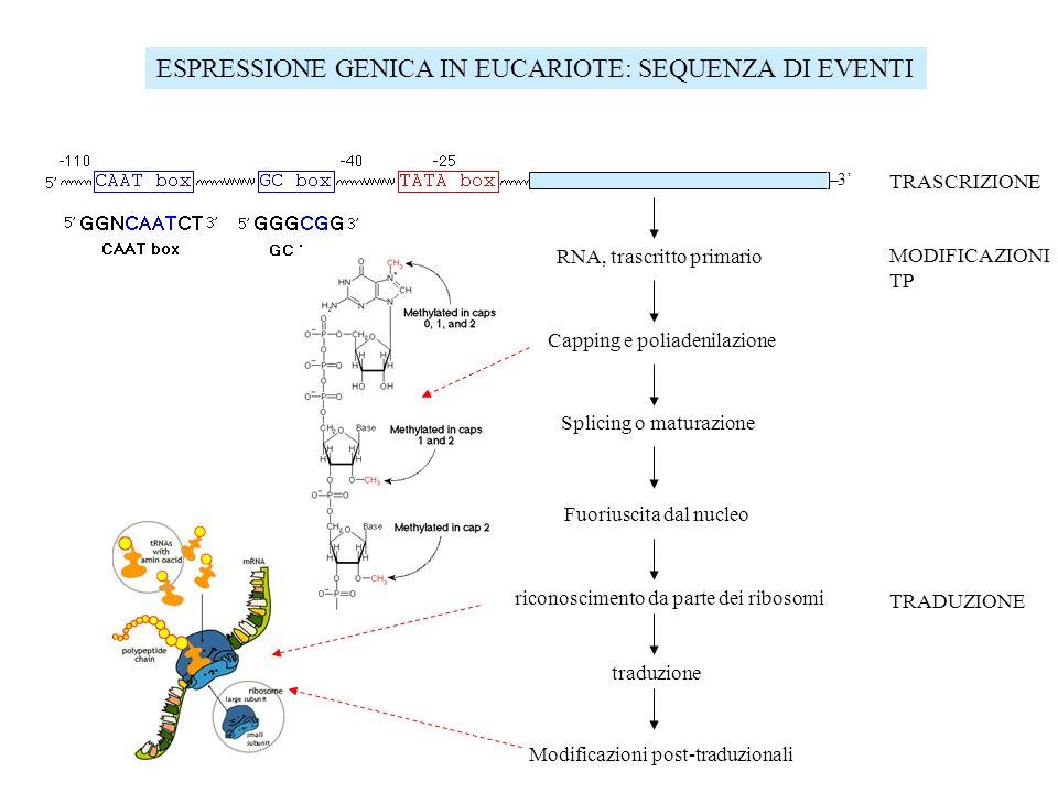 ESPRESSIONE GENICA IN EUCARIOTE: SEQUENZA DI EVENTI 3 TRASCRIZIONE MODIFICAZIONI TP TRADUZIONE RNA, trascritto primario Capping e poliadenilazione Spl