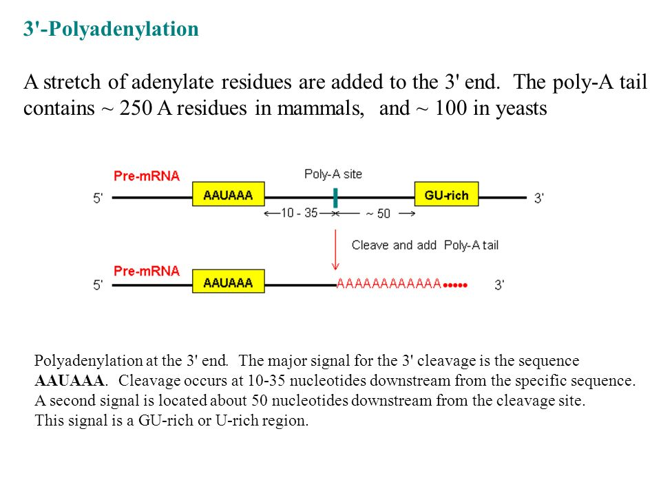 3'-Polyadenylation A stretch of adenylate residues are added to the 3' end. The poly-A tail contains ~ 250 A residues in mammals, and ~ 100 in yeasts