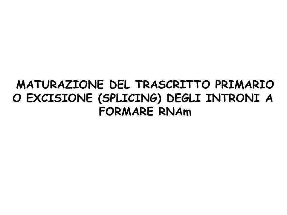 MATURAZIONE DEL TRASCRITTO PRIMARIO O EXCISIONE (SPLICING) DEGLI INTRONI A FORMARE RNAm