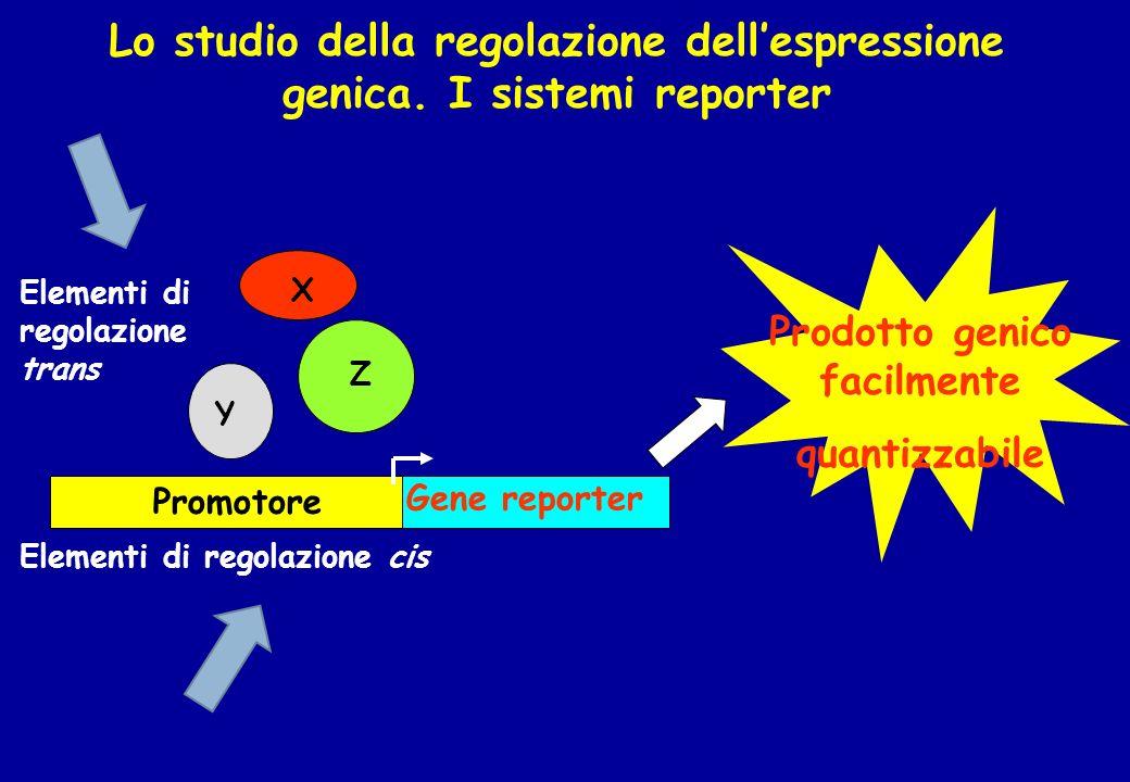 Lo studio della regolazione dellespressione genica. I sistemi reporter X Y Gene reporter Promotore Elementi di regolazione cis Z Elementi di regolazio