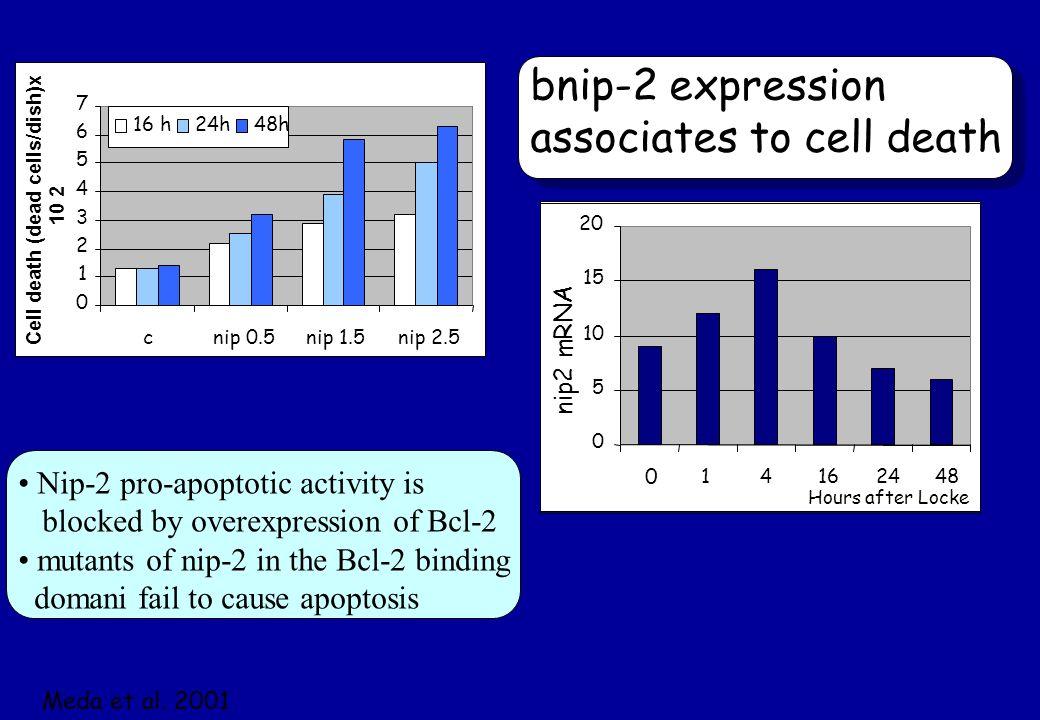 0 1 2 3 4 5 6 7 cnip 0.5nip 1.5nip 2.5 Cell death (dead cells/dish)x 10 2 16 h24h48h 0 5 10 15 20 0 14162448 nip2 mRNA Hours after Locke bnip-2 expres