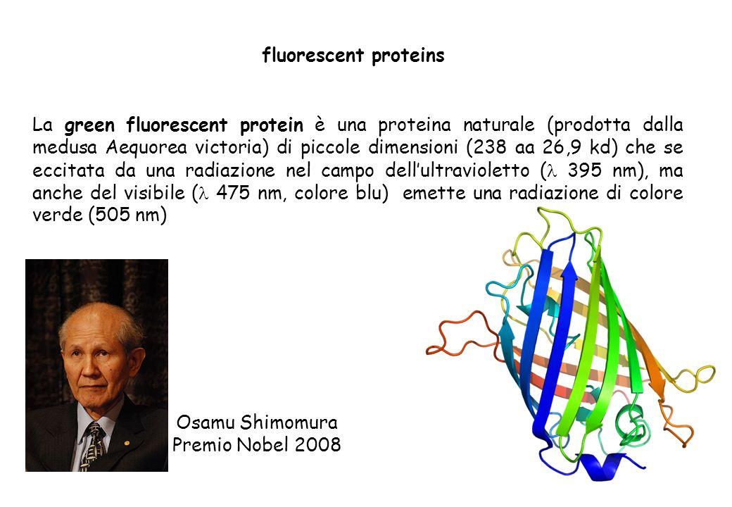 fluorescent proteins La green fluorescent protein è una proteina naturale (prodotta dalla medusa Aequorea victoria) di piccole dimensioni (238 aa 26,9