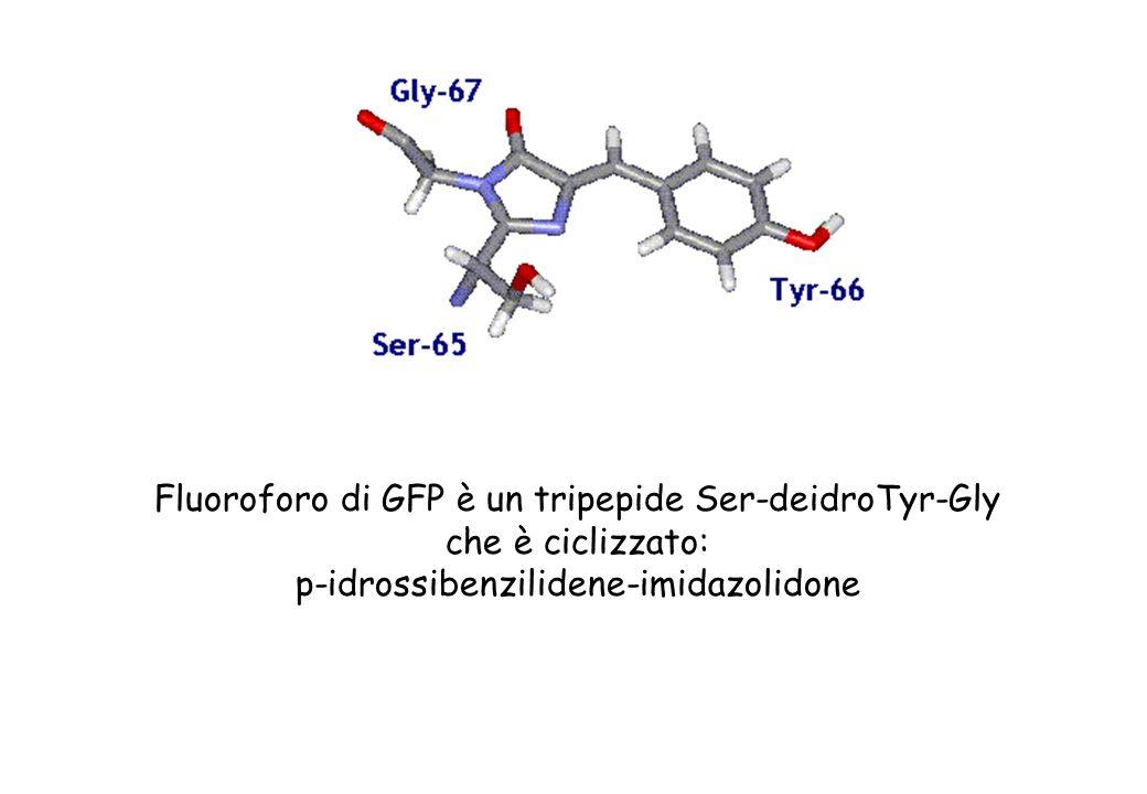Nella struttura tridimensionale della GFP alcuni residui basici fanno ponti a idrogeno con atomi di ossigeno (His148 con Tyr66 e Gln94 o Arg96 con l imidazolidone.) stabilizzando il fluoroforo Lemissione di luce avviene tramite un meccanismo sequenziale di un processo autocatalitico in assenza di cofattori.