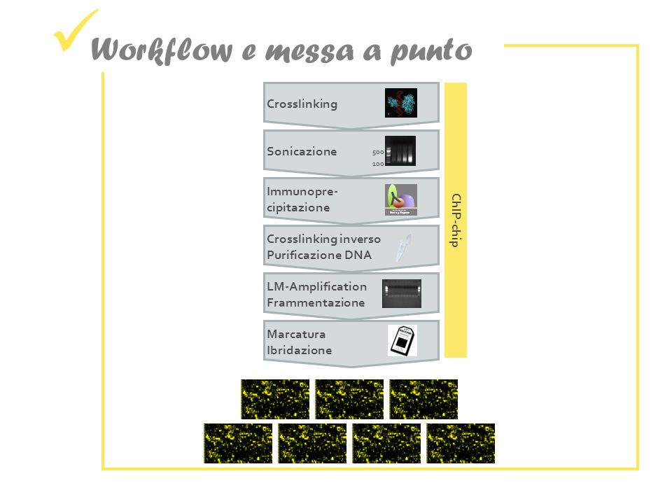 Workflow e messa a punto Sonicazione ChIP-chip Crosslinking 500 100 Immunopre-cipitazione Y Crosslinking inversoPurificazione DNA LM-AmplificationFrammentazione MarcaturaIbridazione