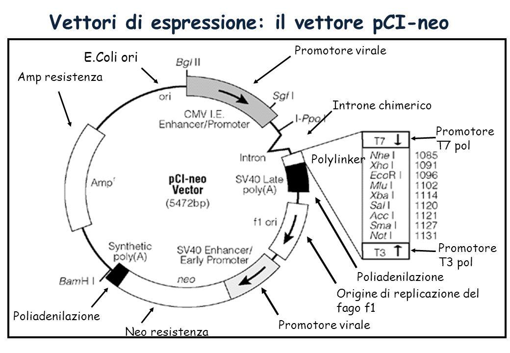 Vettori di espressione: il vettore pCI-neo Promotore virale Introne chimerico Polylinker Poliadenilazione Promotore T7 pol Promotore T3 pol Origine di replicazione del fago f1 Neo resistenza Promotore virale Poliadenilazione Amp resistenza E.Coli ori