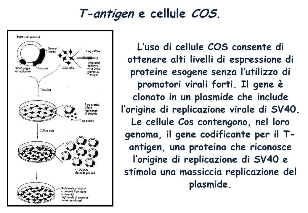 T-antigen e cellule COS. Luso di cellule COS consente di ottenere alti livelli di espressione di proteine esogene senza lutilizzo di promotori virali