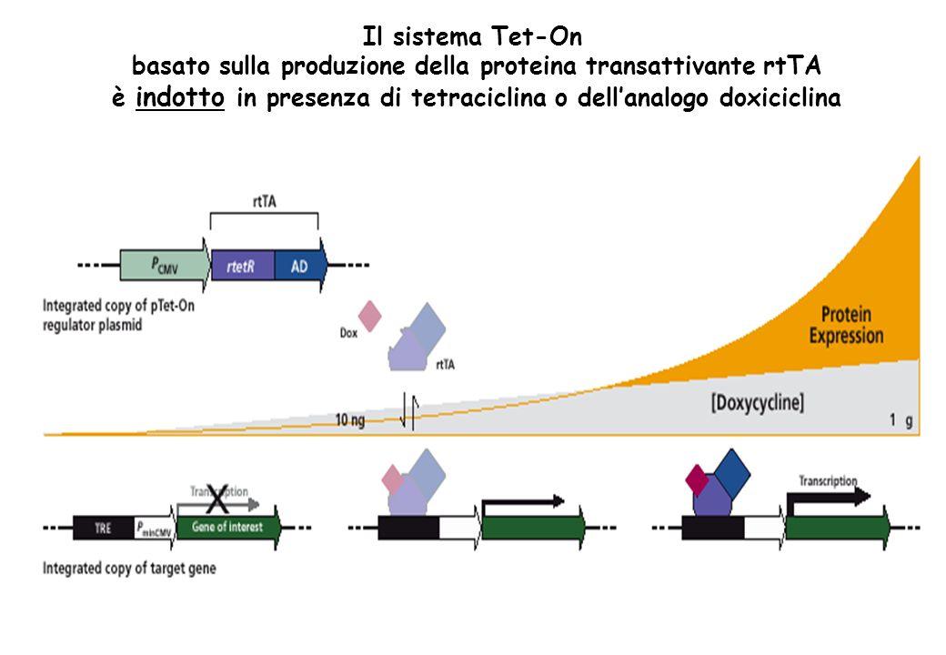 Il sistema Tet-On basato sulla produzione della proteina transattivante rtTA è indotto in presenza di tetraciclina o dellanalogo doxiciclina