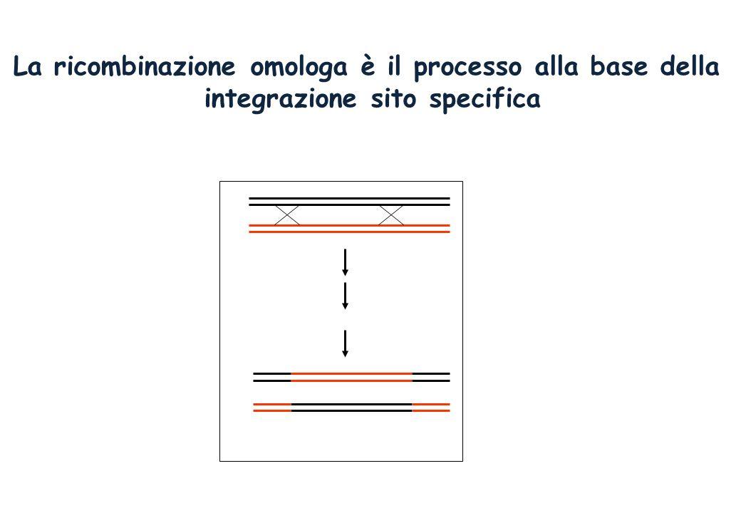 La ricombinazione omologa è il processo alla base della integrazione sito specifica Es. di gene targeting