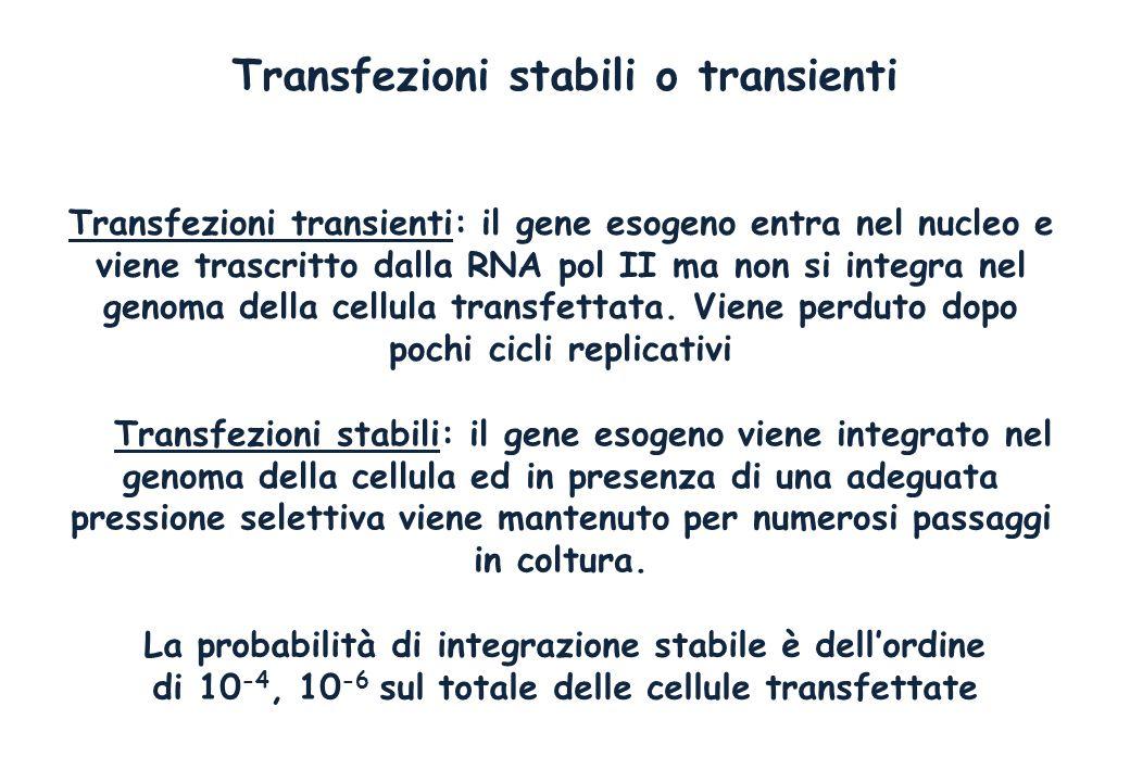 Transfezioni stabili o transienti Transfezioni transienti: il gene esogeno entra nel nucleo e viene trascritto dalla RNA pol II ma non si integra nel genoma della cellula transfettata.