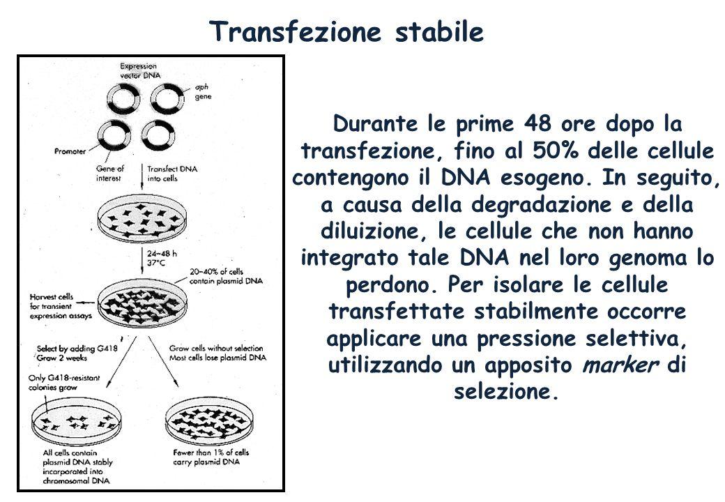 Transfezione stabile Durante le prime 48 ore dopo la transfezione, fino al 50% delle cellule contengono il DNA esogeno. In seguito, a causa della degr