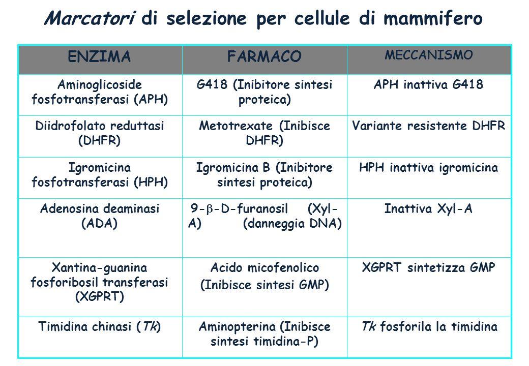 Marcatori di selezione per cellule di mammifero Tk fosforila la timidinaAminopterina (Inibisce sintesi timidina-P) Timidina chinasi (Tk) XGPRT sintetizza GMPAcido micofenolico (Inibisce sintesi GMP) Xantina-guanina fosforibosil transferasi (XGPRT) Inattiva Xyl-A9- -D-furanosil (Xyl- A) (danneggia DNA) Adenosina deaminasi (ADA) HPH inattiva igromicinaIgromicina B (Inibitore sintesi proteica) Igromicina fosfotransferasi (HPH) Variante resistente DHFRMetotrexate (Inibisce DHFR) Diidrofolato reduttasi (DHFR) APH inattiva G418G418 (Inibitore sintesi proteica) Aminoglicoside fosfotransferasi (APH) MECCANISMO FARMACOENZIMA