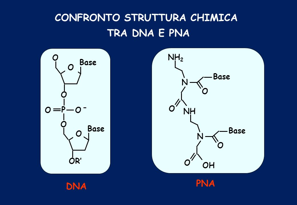 CONFRONTO STRUTTURA CHIMICA TRA DNA E PNA O OO P O Base O O O OR - DNA NH 2 N Base O O NH N Base O O OH PNA
