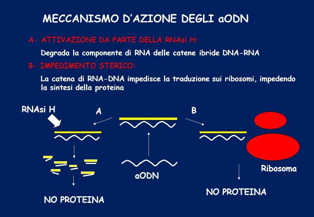 MECCANISMO DAZIONE DEGLI aODN A- ATTIVAZIONE DA PARTE DELLA RNAsi H: Degrada la componente di RNA delle catene ibride DNA-RNA B- IMPEDIMENTO STERICO: