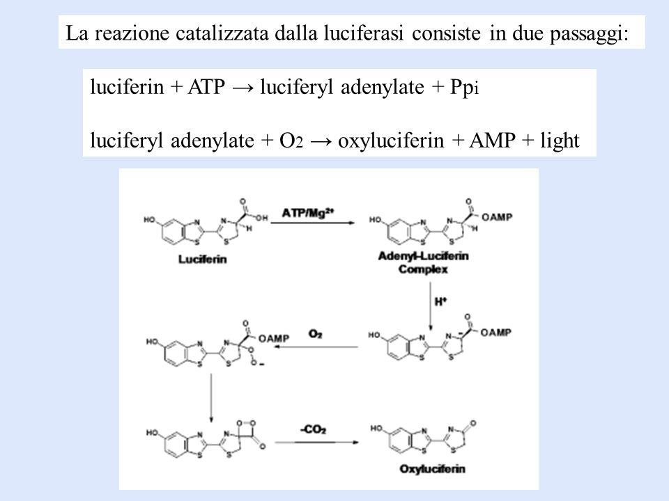 luciferin + ATP luciferyl adenylate + Pp i luciferyl adenylate + O 2 oxyluciferin + AMP + light La reazione catalizzata dalla luciferasi consiste in d