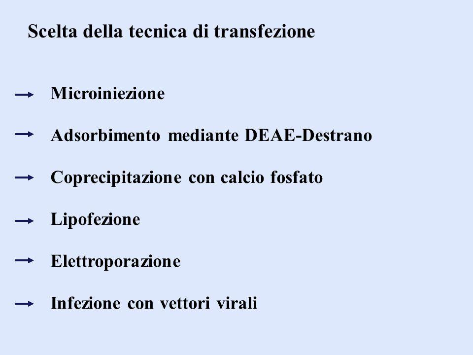 Scelta della tecnica di transfezione Microiniezione Adsorbimento mediante DEAE-Destrano Coprecipitazione con calcio fosfato Lipofezione Elettroporazio