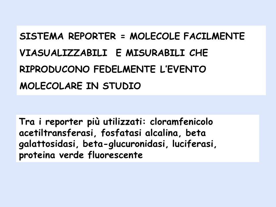 β-glucuronidasi: un enzima presente in vertebrati e molluschi che agendo su substrati incolori quali: 5-bromo-4-cloro-3-indolil-glucuronide determina la formazione di un composto di colore blu 4-metlbelliferil-beta-D-glucuronide determina la formazione di un composto fluorescente Cloramfenicolo acetiltransferasi: un enzima di origine batterica in grado di transferire un gruppo acetilico da acetil- COA (radioattivo) al cloramfenicolo β-galactosidase un enzima idrolitico che agisce sul substrato X-gal trasformandolo in galattosio e 5-bromo-4-chloro-3-hydroxyindole che, ossidato a 5,5 -dibromo-4,4 -dichloro-indigo produce un prodotto insolubile di colore blu