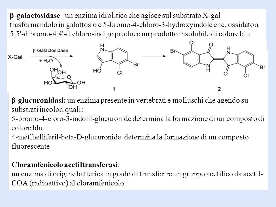 β-glucuronidasi: un enzima presente in vertebrati e molluschi che agendo su substrati incolori quali: 5-bromo-4-cloro-3-indolil-glucuronide determina