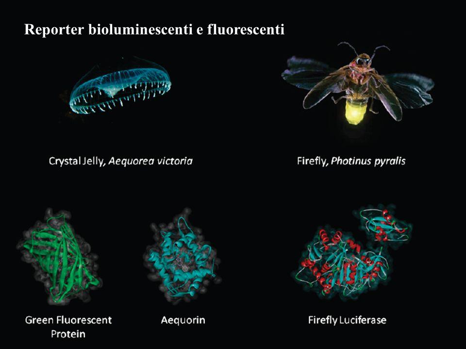 Reporter bioluminescenti e fluorescenti