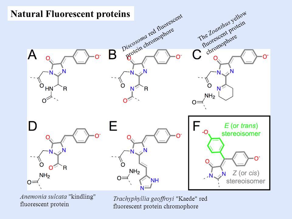 Discosoma red fluorescent protein chromophore The Zoanthus yellow fluorescent protein chromophore Anemonia sulcata