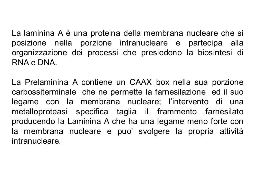 La laminina A è una proteina della membrana nucleare che si posizione nella porzione intranucleare e partecipa alla organizzazione dei processi che pr